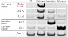 ES/iPS Differentiation Monitoring Kit - Human Endoderm
