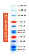10-250kDa Wide Range Blue-Red Two Color Protein Ladder, Prestained, 500ul